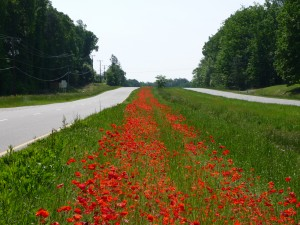 Wildflowers in VA